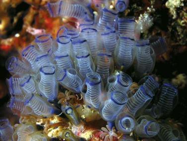 sea-squirt
